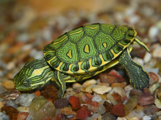 Resultado de imagem para imagem tartaruga